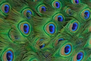 peacock_tailfeathers_closeup