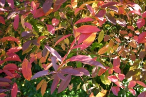 Itea_virginica_fall_color
